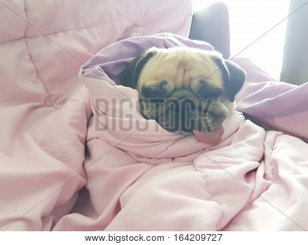Close up face of cute dog puppy pug sleep rest on sofa bed with tongue out and wrap blanket because of weather cold