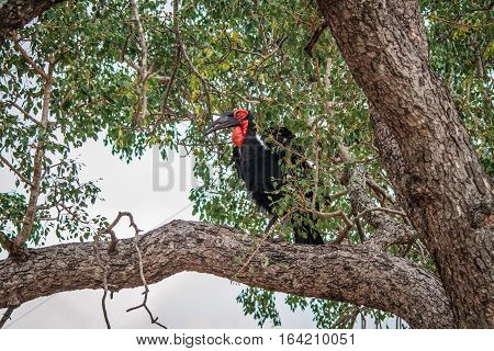 Southern Ground Hornbill In A Tree.