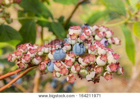 closeup of ripe and unripe blueberries on blueberry bush