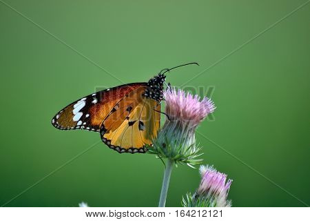 Monarch Butterfly getting nectors from wild flower.