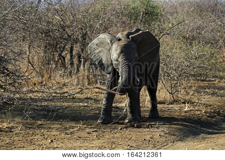 Wild juvenile Elephant playing with a stick