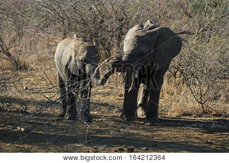 Two wild juvenile Elephants playing with a stick