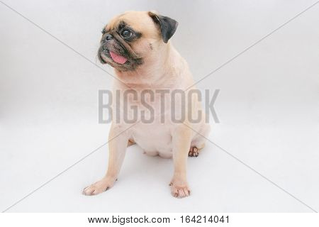 A portrait of a cute pug dog sitting on the floor with tongue sticking out on white grey background