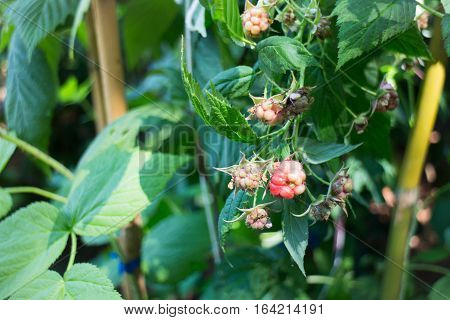 Red unripe mulberries on the branch stock photo