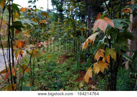 Maple Leaf In Dalat Jungle