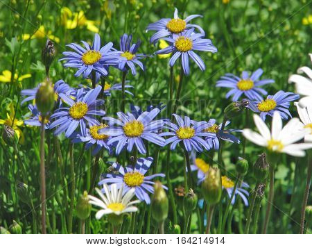 Blue And Yellow Flowers With Green Back Ground Foliage 12drw
