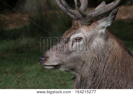 A very close side profile photograph of a red deer stag clearly showing its eye and antlers looking to the left