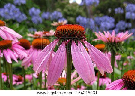 Pink Echinacea flower in bloom in garden