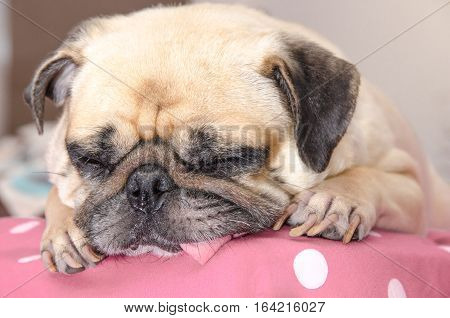 Close up face of cute pug dog puppy sleeping rest with snot of cold