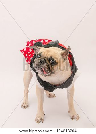 Funny pug dog in terrible action with tongue out