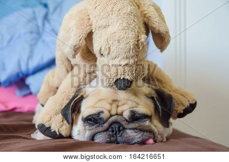 Close up face of cute dog puppy pug want to sleep rest tongue out and bored to play with toy dog doll.