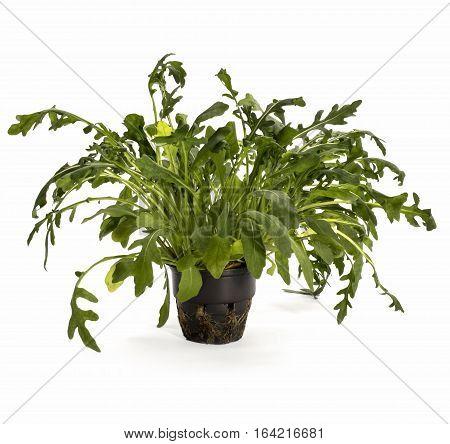 Arugula bush in a pot on a white background