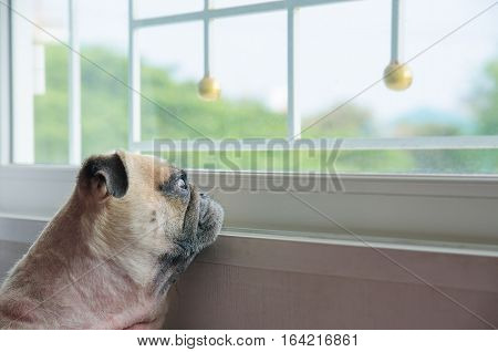 Close-up Face of Cute Pug Puppy Dog Looking Out a Window. Concept of lonely pug dog. Pug alone like forsake. Pug waiting owner