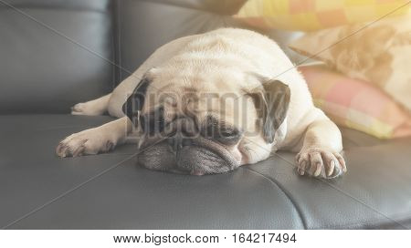 Vintage Cute dog pug puppy sleeping in sofa with warm light