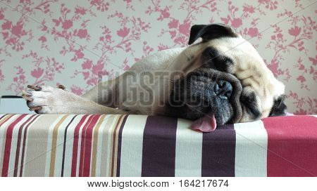 Close up face of Cute pug puppy dog sleeping rest on bed tongue out