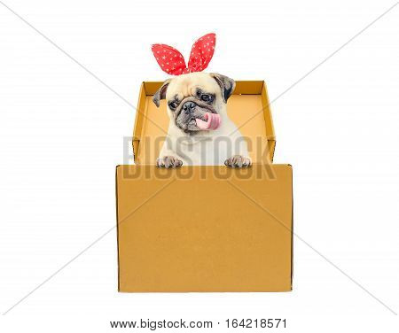Cute dog puppy pug tongue out with gift bunny ears in a box. Funny little dog looking out of the cardboard box while isolated on white