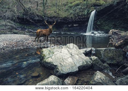 Stuning Cross Processed Waterfall Landscape Image Of Red Deer Stag In Stream Beneath Waterfall