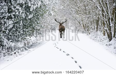 Beautiful Red Deer Stag In Snow Covered Festive Season Winter Forest Landscape