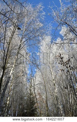 Frosted forest of birch trees icy branches blue sky. Birch.