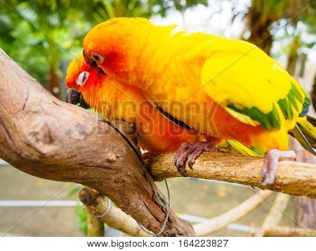 Love abstract The couple cute bird close eye during kiss. Sun Parakeet or Sun Conure, the beautiful yellow and orange parrot bird with nice feathers details at Songkhla Thailand