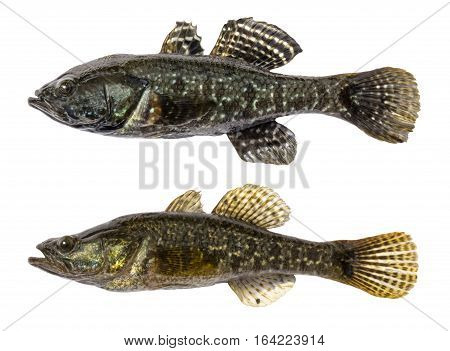 Fresh raw fish on a white background with clipping path. Goby fish