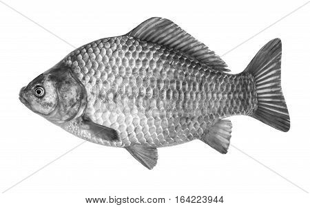 Fish crucian carp isolated on white background
