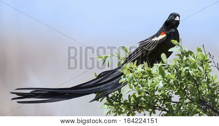 Long-tailed Widowbird sitting on a brush to rest after a display flight
