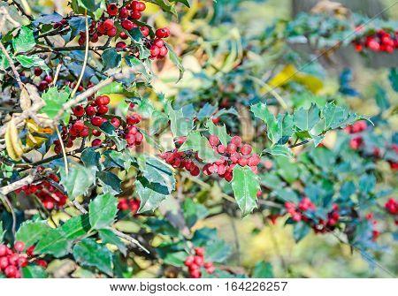 Ilex Or Holly Red Fruits, Shrub Genus In The Family Aquifoliaceae