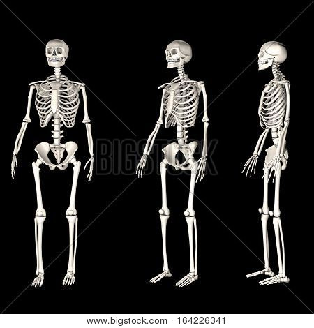3 human skeletons standing, in different views