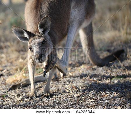 Close up of grey eastern kangaroo scratching