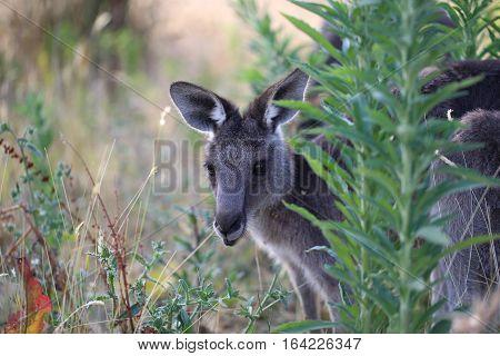Cute grey kangaroo peeking from behind plants