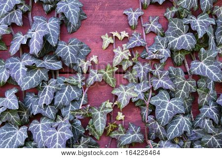 Ivy growing over wooden boards. Ivy. Plant growing.