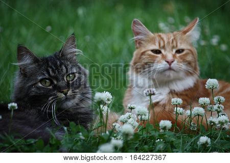 Beautiful long haired ginger and tabby cats