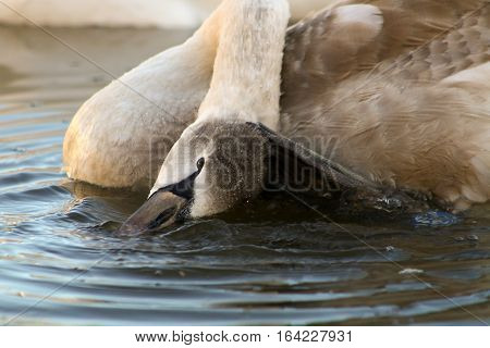 A Mute Swan cygnet scratching with a webbed foot