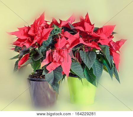 The Poinsettia Red Flowers (euphorbia Pulcherrima) In Colored Flowerpot, The Flower Of The Christmas