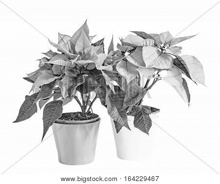 The Poinsettia Flowers (euphorbia Pulcherrima), The Flower Of The Christmas, Black And White, Graysc