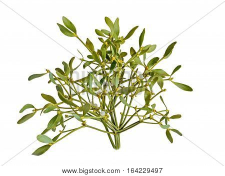 Viscum Album, Mistletoe Branch, Family Santalaceae, White Berry Fruits, Close Up