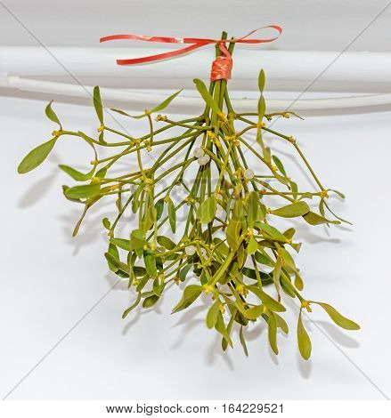 Viscum Album, Mistletoe Branch, Family Santalaceae, White Berry Fruits, Hanging By Red Bow