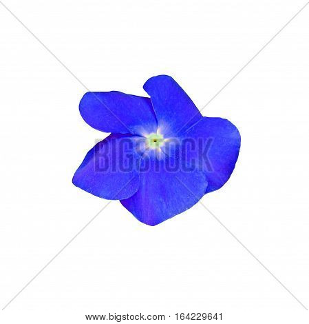 Blue Impatiens Flower, Isolated On White Background