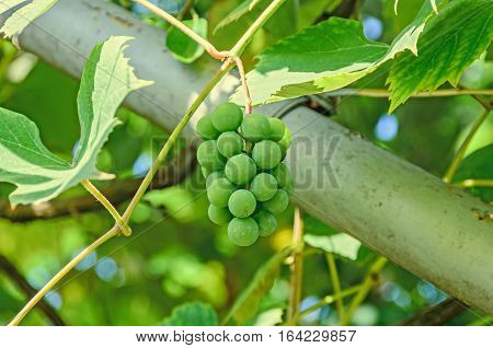 Green Grapes (white) Fruit Hang, Vitis Vinifera (grape Vine) Green Leaves In The Sun, Close Up.