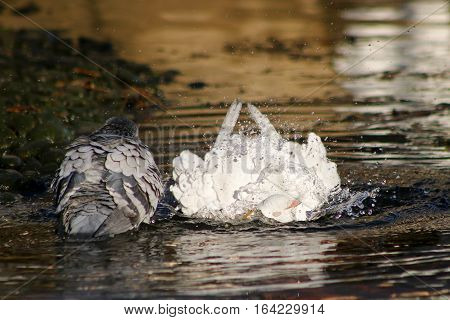 An albino pigeon bathing in a river next to another grey pigeon