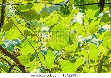 Vitis Vinifera (grape Vine) Green Leaves In The Sun, Close Up.