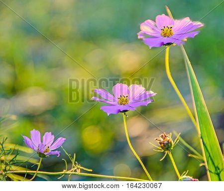 Cosmos Bipinnatus Pink Flower, Commonly Called The Garden Cosmos Or Mexican Aster, Close Up.