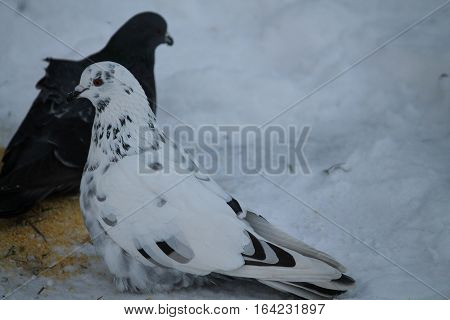 beautiful  pure white adult dove with her partner walk and  feeding in winter snow cold day