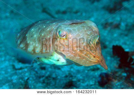 Broadclub Cuttlefish (Sepia Latimanus). Padang Bai Bali Indonesia