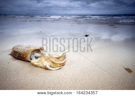Squid lies on the beach in the sand on background of cloudy sky. Rest on the sea, the sunset in Thailand. Journey to distant countries