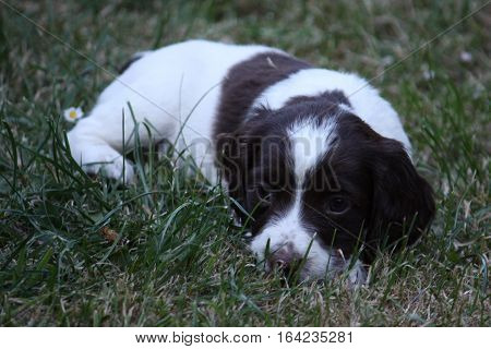 Very Cute Liver And White Working Type English Springer Spaniel Pet Gundog Puppy