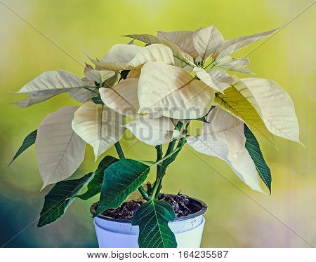 The Poinsettia Yellow Flowers (euphorbia Pulcherrima), The Flower Of The Christmas, Green Background