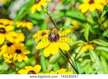 Bee Sitting On Rudbeckia Triloba Yellow Flower, Browneyed Susan, Close Up