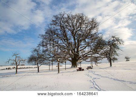 Millennium oak near Sichertshausen (Germany) / Winter Landscape